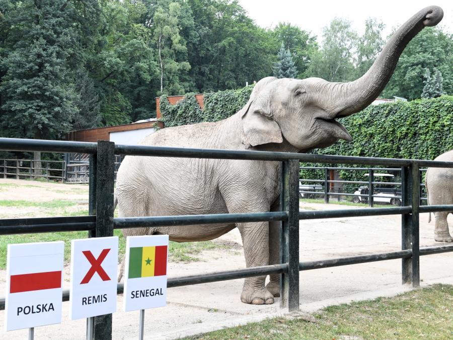 Słonica Citta w ogrodzie zoologicznym w Krakowie typuje wynik meczu Polska-Senegal