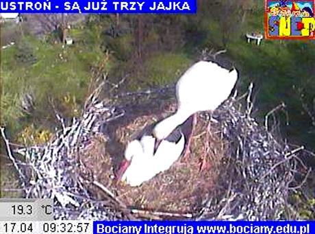 Zobacz, jak bocian znosi jaja