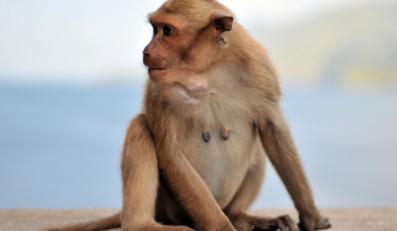 Małpy wiedzą, co to sprawiedliwość