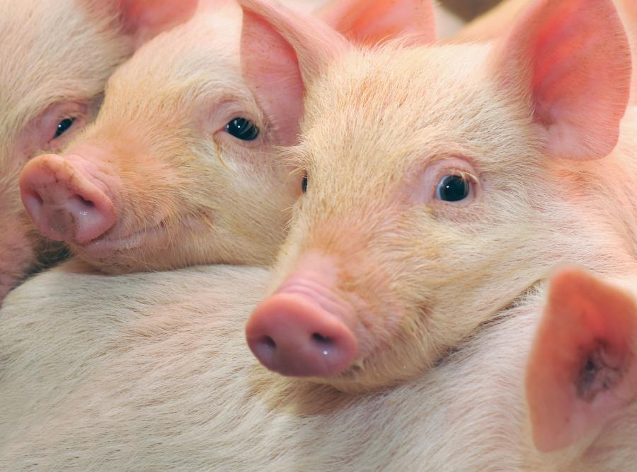 Świnie - zdjęcie ilustracyjne