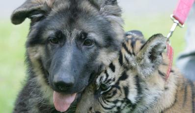 Tygrysica przyjacielem psa