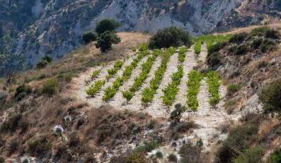 Winnica na Cyprze