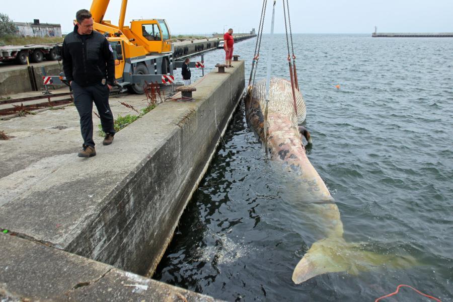 Wyciąganie wieloryba z Bałtyku